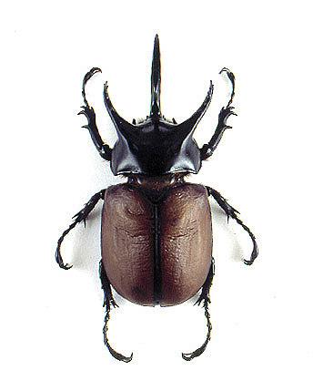 Man vs. Wild – Eating Rhino Beetle Larva