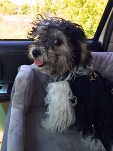 Havanese Puppy in Car Seat and Harness