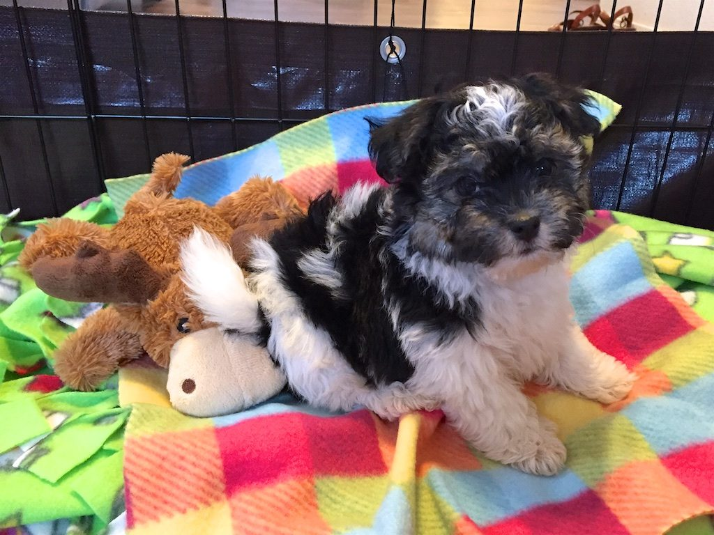 Havanese Puppy in Pen