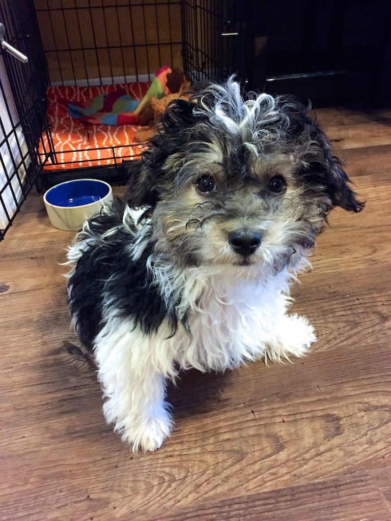 Havanese Puppy Shopping List The Cooking Dish